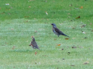 Fieldfare with Redwing