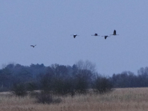 Common Cranes with Marsh Harrier