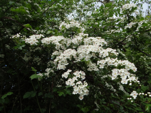 Hawthorn flower (May blossom)