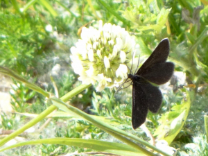Chimney Sweep Moth on Clover