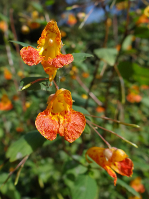 Orange Balsam(Impatiens capensis)
