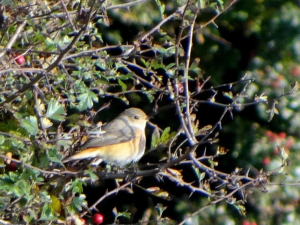 Common Redstart