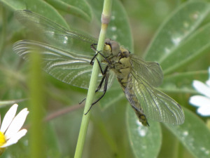 Possible Black-tailed Skimmer Dragonfly