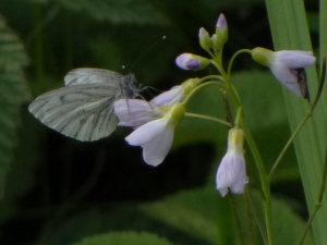 Green-veined White on Lady's Smock