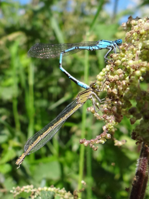 Common Blue Damselflies in tandem