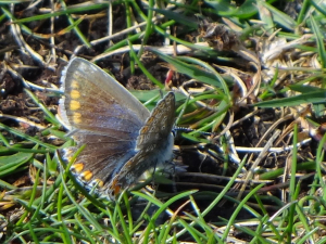 Common Blue butterfly - female