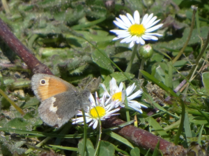 Small Heath visiting daisy