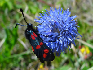 Sheep's Bit visited by Six-Spot Burnet