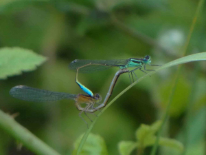 Common Bluetails in tandem