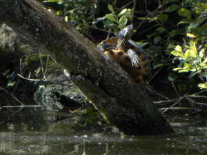 Possible Yellow-bellied Slider turtle (Trachemys scripta)