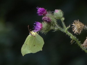 Brimstone on thistle