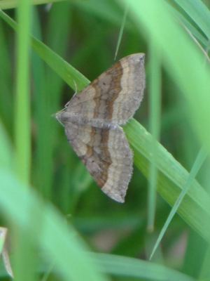Possible Shaded Broad-bar (Scotopteryx chenopodiata) Moth