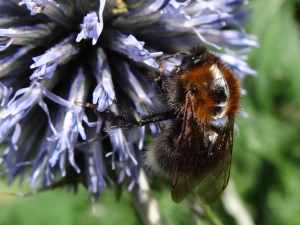 Possible Tree Bumblebee (Bombus hypnorum)