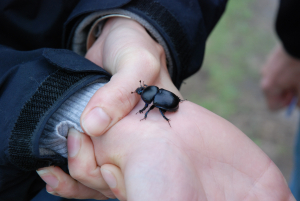 Blue Bellied Beetle