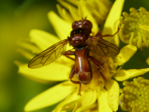Fly or Hoverfly?
