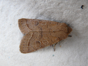 Common Quaker (Orthosa stabilis)