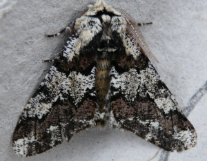 Oak Beauty (Biston strataria)