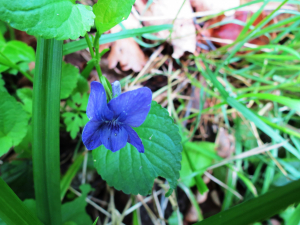 Blue flower- common dog-violet?