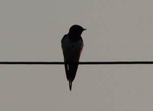 Swallow at dusk