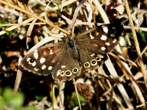 Butterfly- Speckled Wood