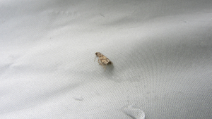 Very small moth