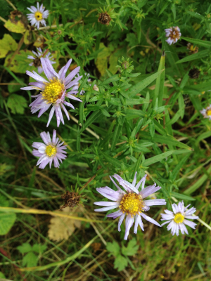 Which Aster?