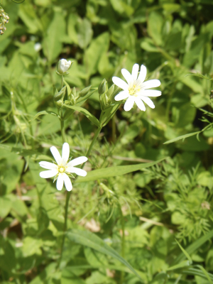 Stitchwort, Mouse-ear or Chickweed??