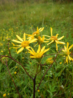 Marsh Ragwort