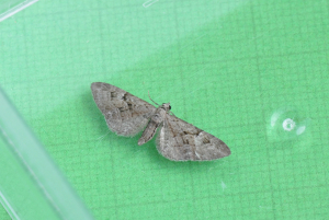 Pug moth confirmation