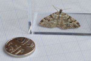 Unknown moth II identification please