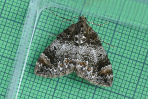 confirm common or dark marbled carpet III