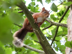 grumpy red squirrel