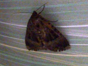 Very large dark coloured moth