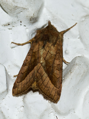 Possible Rosy Rustic