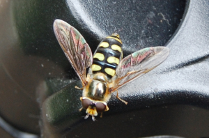 Lunar hoverfly