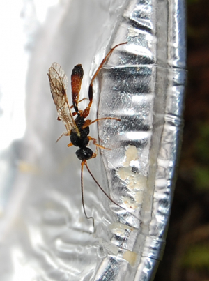 Parasitic wasp.