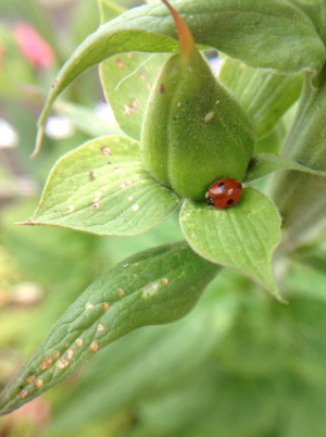 2 spotted ladybird