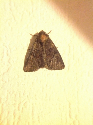 Moth. Common rustic ???