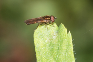 Soldier fly?
