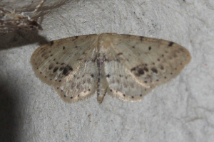 Worn Wave Moth