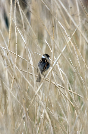 Reed Bunting in reeds
