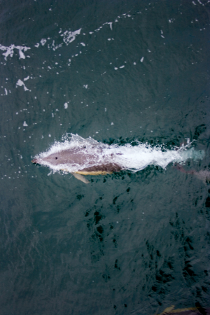 Common Dolphin, bow riding