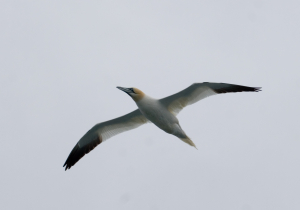 Gannets in flight and roosting