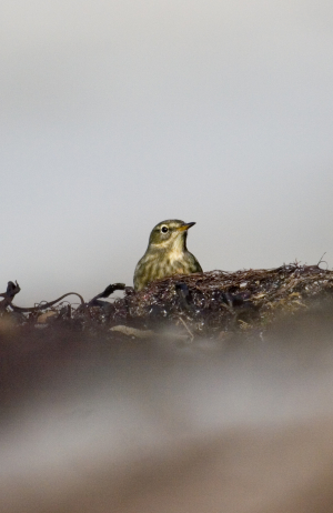 201210121 - Mull - Rock Pipit