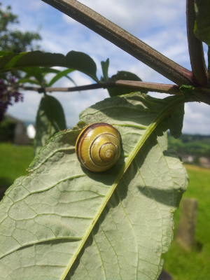 Banded Snail?