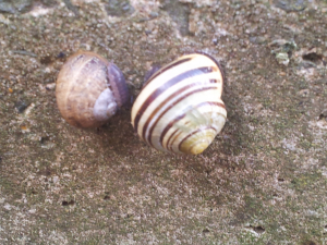 Yellow White-lipped Snail and Brown Garden Snail?