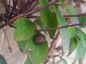Brown garden snails