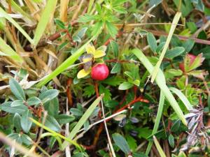 Unknown berry - Isle of Muck