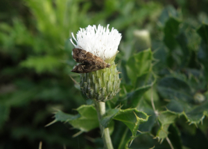 Moth and white thistle