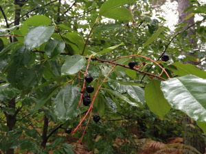 Smallish tree with black berries